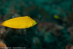 BD-110319-Puerto-Galera-4107-Pseudochromis-fuscus.-Müller---Troschel.-1849-[Brown-dottyback].jpg